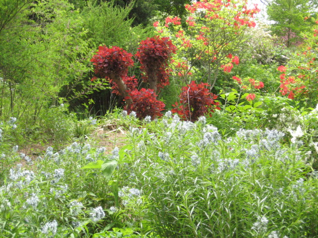 Amsonia and Smoke bush