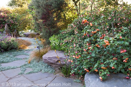 Flowering maple by stone seat in drought tolerant garden.