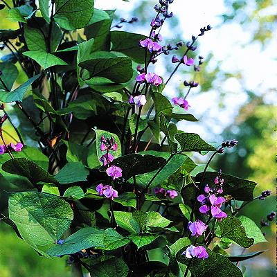 Hyacinth Bean 'Ruby Moon' Photo Courtesy of Select Seeds