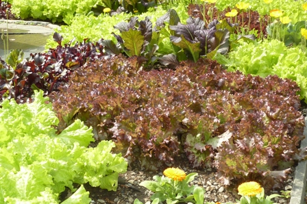 Red giant Mustard at Teapot Garden ~ Chanticleer Photo Courtesy of Fran Sorin