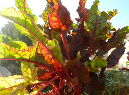 Rhubarb Chard Photo Courtesy of Fran Sorin