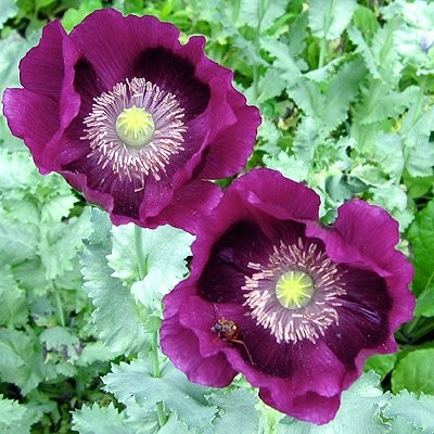 Poppy 'Laurens Grape'. Photo Courtesy of Select Seeds.
