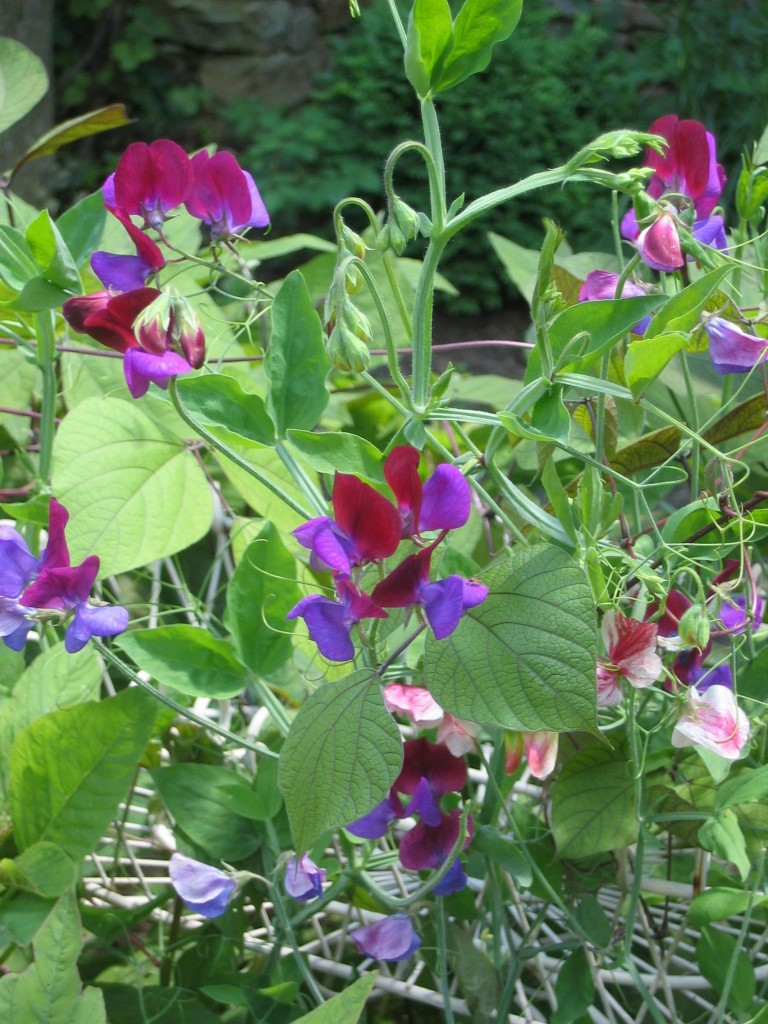Sweet Peas. Photo is courtesy of Fran Sorin.