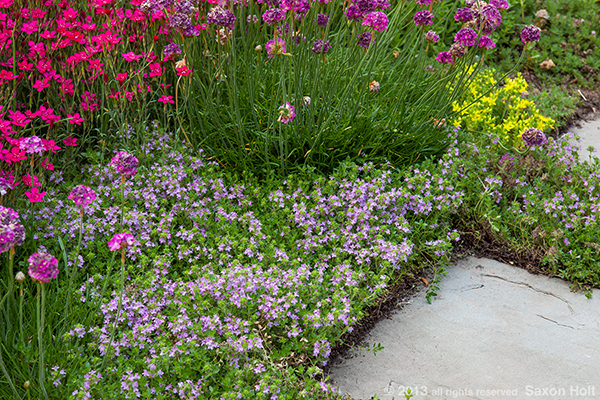 flowering thyme as groundcover by path