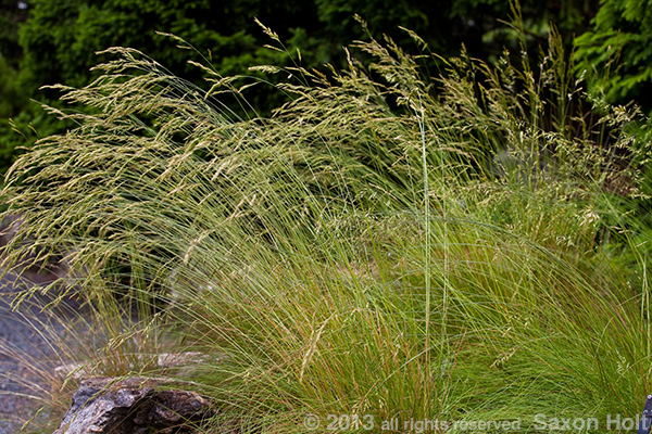 Festuca valesiaca, Wallis fescue against dark background.