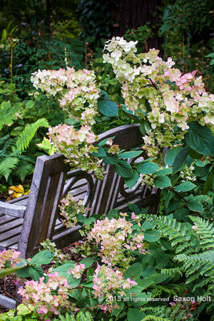 Hydrangea paniculata flowering shrub by wooden bench in O&#039;Byrne Garden