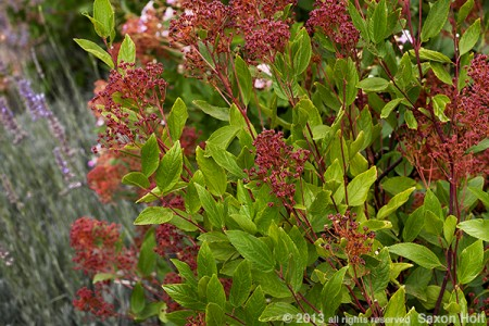 red seedpods ceanothus marie simon