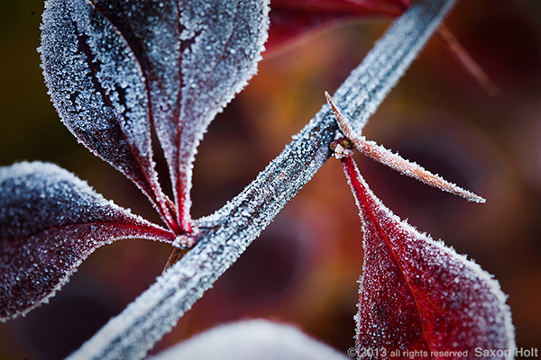 frosty berberis leaf