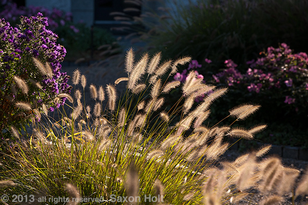 Feather Grass, Pennisetum alopecuroides backlit in garden