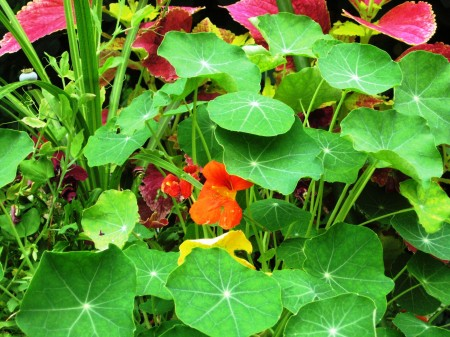 Nasturtium Photo Courtesy of Fran Sorin