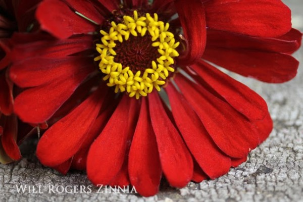 Flower Zinnia Will Rogers 592 wide text