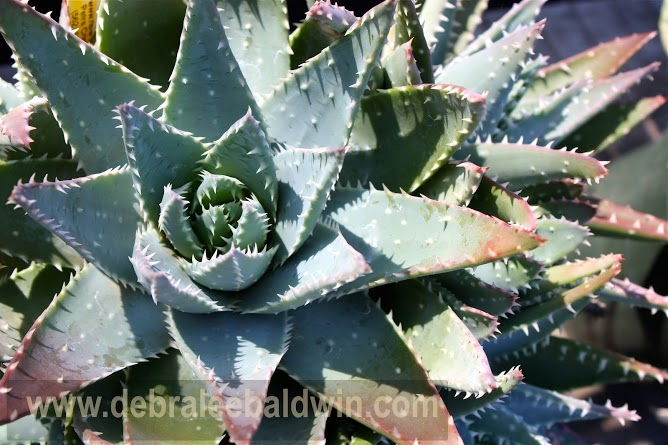 Aloe brevifolia (short-leaved aloe) turns from blue to shades of pink depending on how much sun it receives