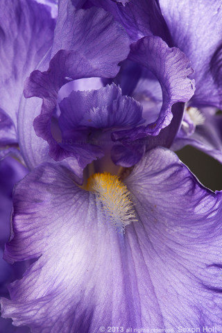 macro photo shallow depth Blue Iris flower