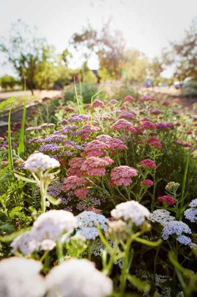 yarrow in summer sunny flower bed