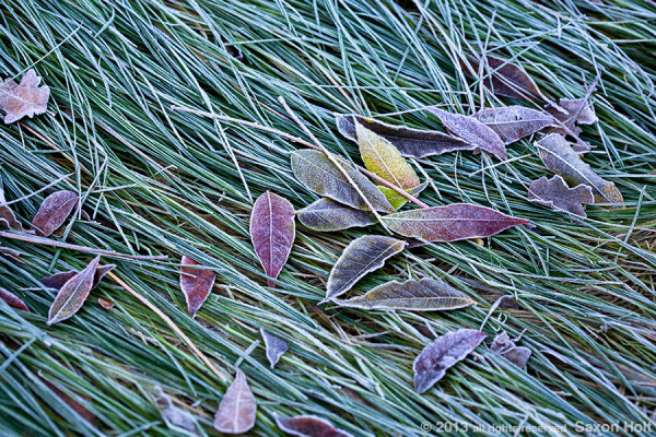 leaves on frosty lawn