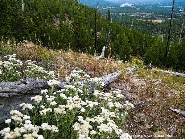 Yellowstone wildflower hike with Old Faithful geyser WAY in the distance.