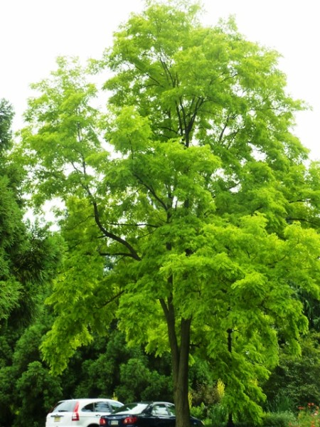 Golden leaved black locust