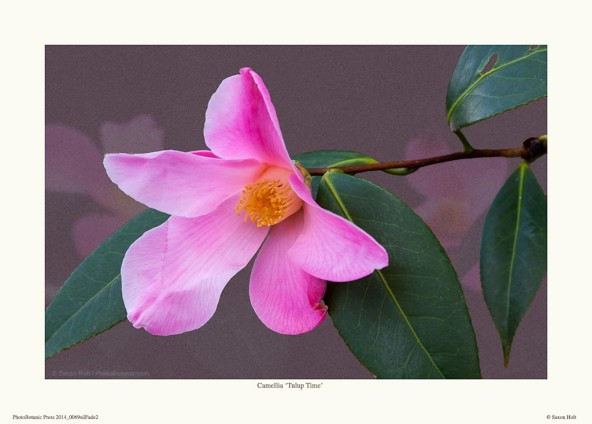 print of Camellia 'Tulip Time'