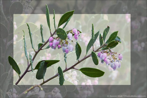 Flowering branch of California native shrub, Arctostaphylos manzanita 'Monica'