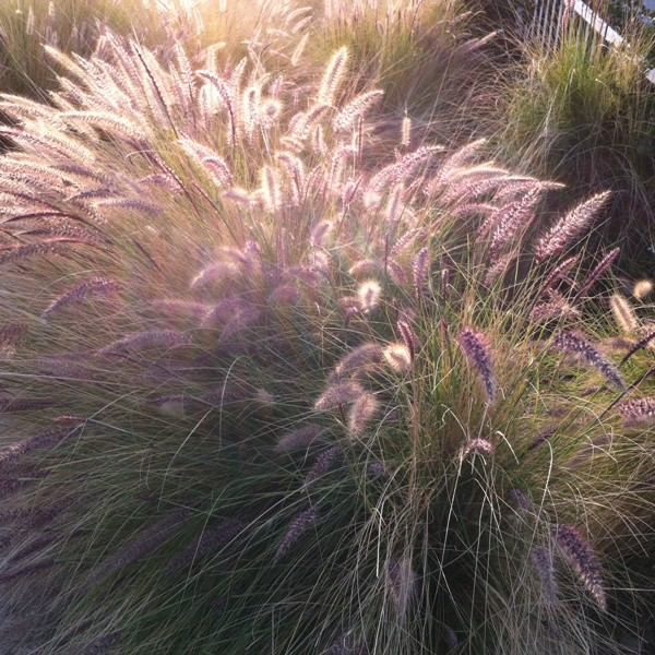 Pennisetum in Independence Park
