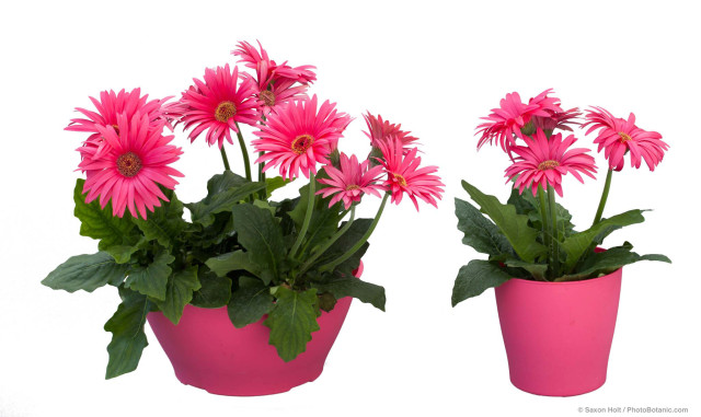 Festival Gerbera Neon Rose with Eye from Sakata ornamentals