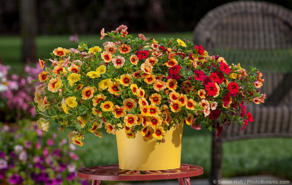 Calibrachoa and Petunias in mixed container of annual flowers from Danzige