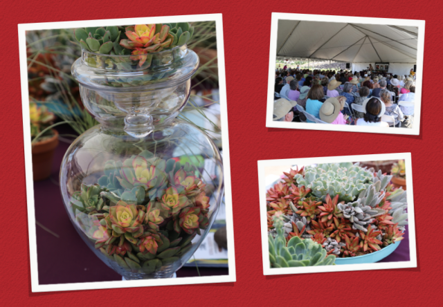June 6-7: At the Succulent Celebration at Waterwise Botanicals in Escondido, CA, I enhanced my book table with a glass apothecary jar filled with colorful Aeonium 'Kiwi' rosettes. Lower right: During one of my potting demos, I planted a turquoise hanging basket from Pot, Inc. with echeverias, kalanchoes and Sedum nussbaumerianum.
