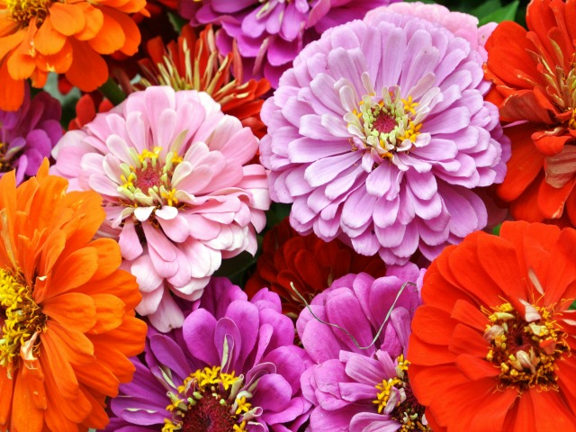 Zinnias and happiness