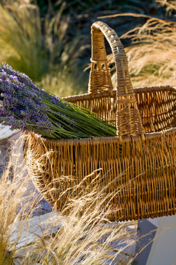 basket of harvested lavender in basket on garden chair